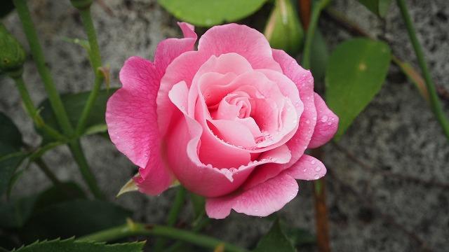 小豆島の有機バラ