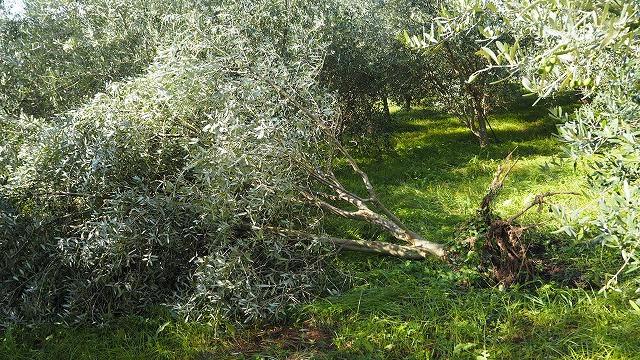 オリーブの倒木