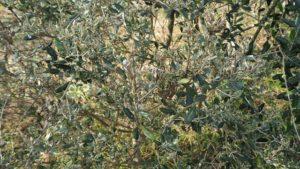 ハマキムシに弱いオリーブの品種と強い品種