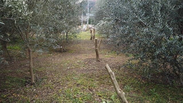 ダム下のオリーブ畑を間伐