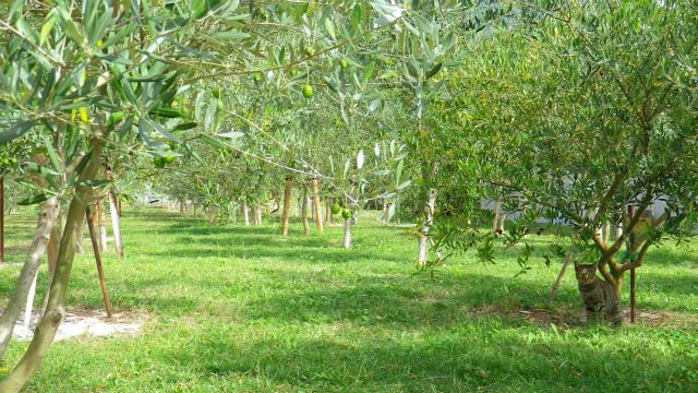 猫とオリーブ畑