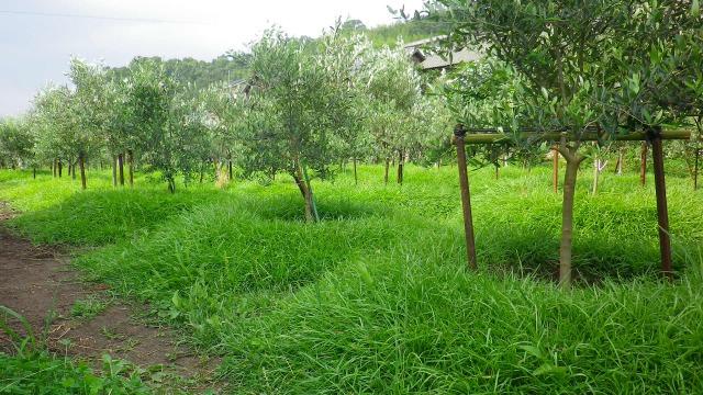オリーブ畑を覆うセンチピートグラス