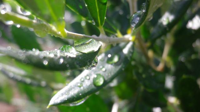 雨のオリーブ