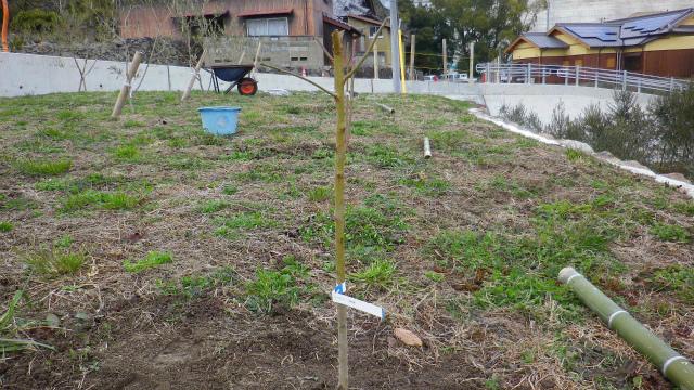 アーモンドの苗木を植える