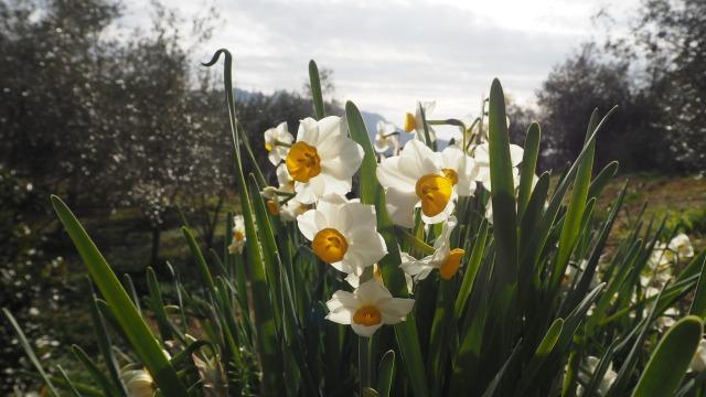 オリーブ畑に咲く水仙