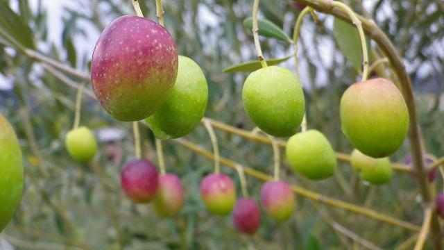 オリーブの果実・ミッション種