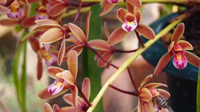 キンリョウヘンの花