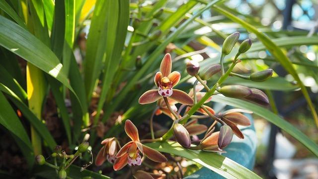 キンリョウヘンの花が咲く