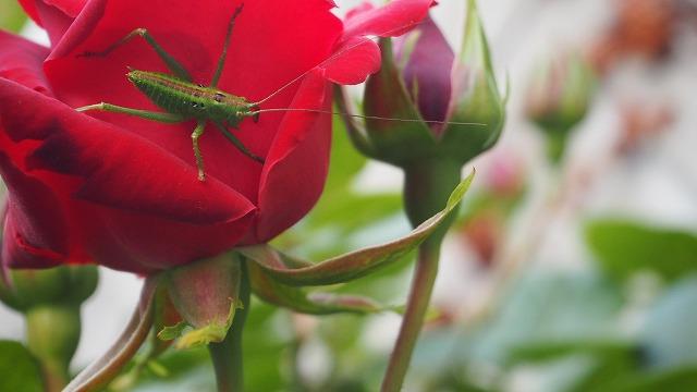 キリギリスと有機バラ