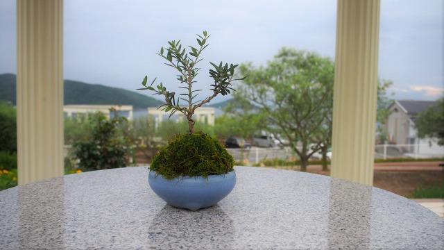 オリーブの盆栽