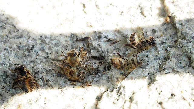 二ホンミツバチの蜂球で死んでしまうミツバチ