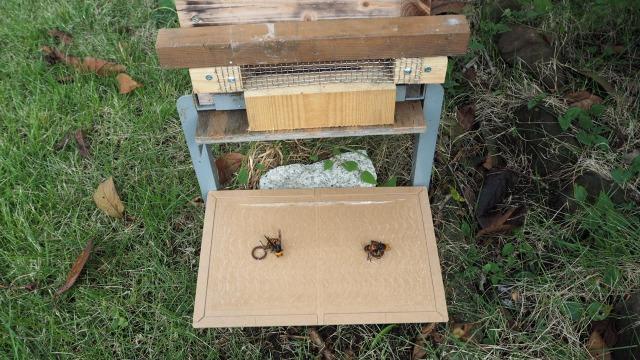 オオスズメバチ対策