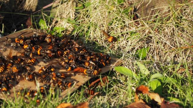 ネズミ捕りに捕まるオオスズメバチ