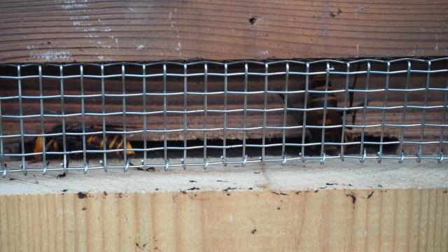 ミツバチの巣を襲うオオスズメバチ