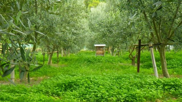 オリーブ畑のミツバチの巣箱
