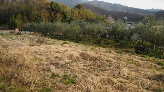 オリーブ畑の開墾