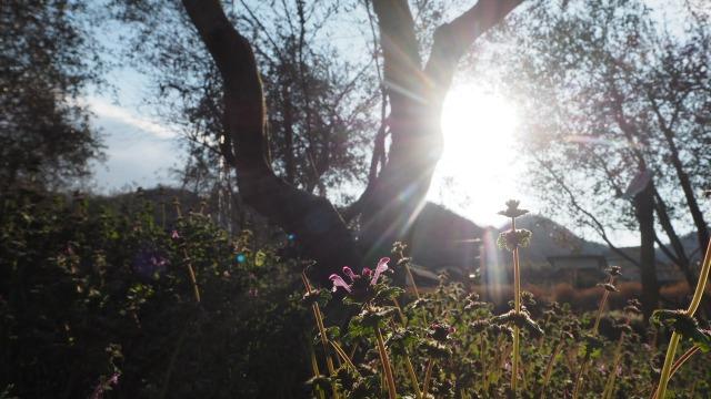 オリーブ畑のホトケノザ