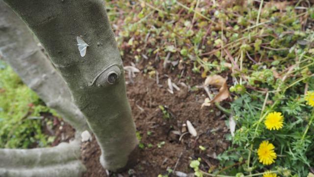 春一番のマエアカスカシノメイガ