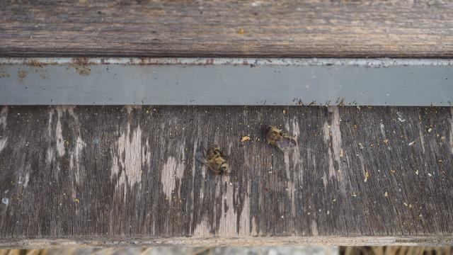 ミツバチの突然死