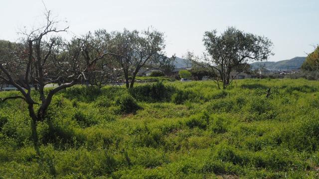 オリーブアナアキゾウムシに食害されたオリーブ畑