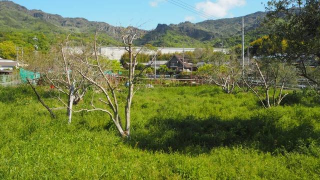 オリーブ畑の再生