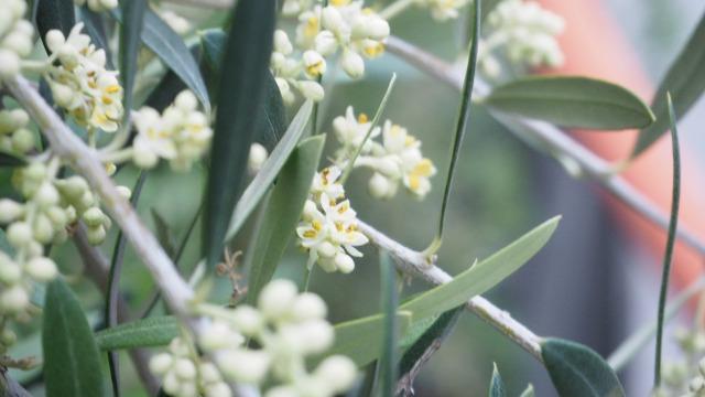 2019年オリーブの開花