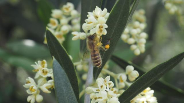 オリーブとミツバチ