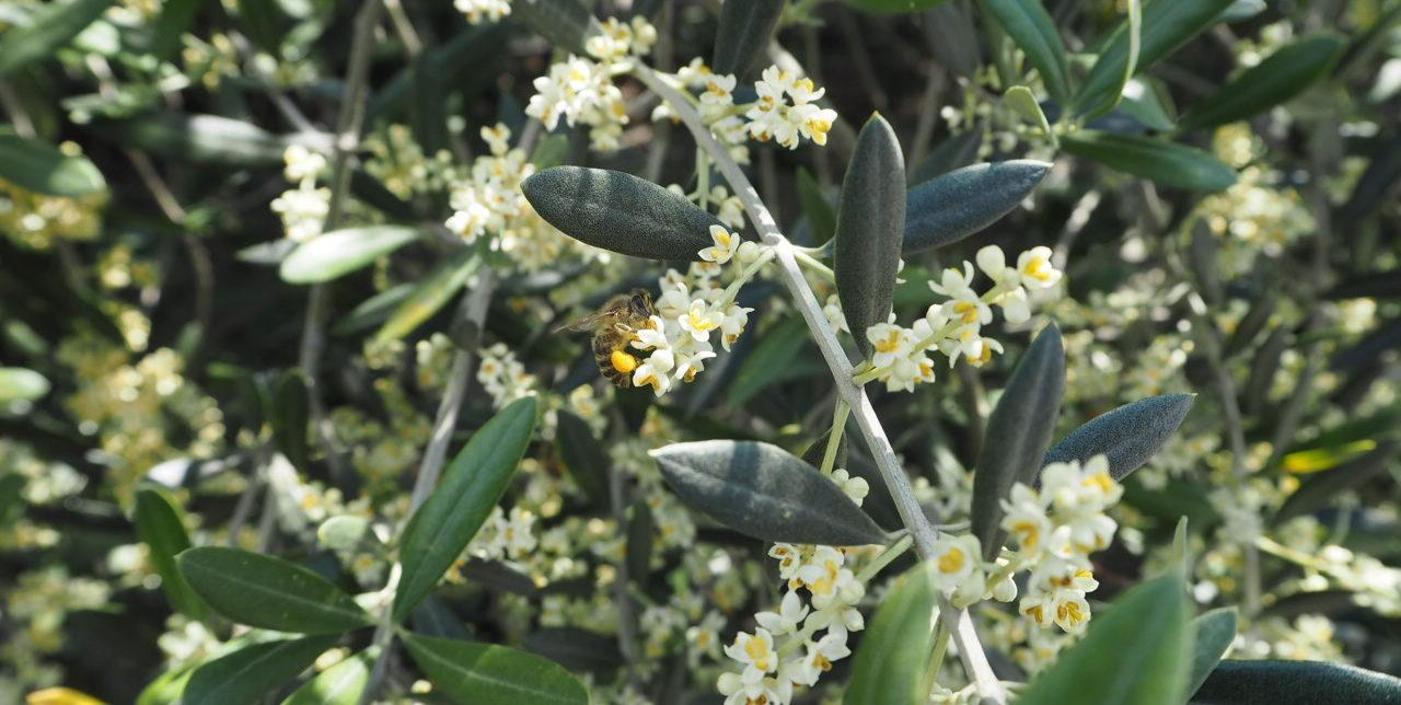 ミツバチとオリーブ畑