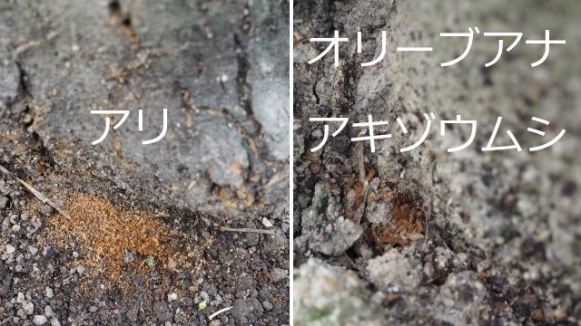 オリーブの食害跡、アリとオリーブアナアキゾウムシの違い