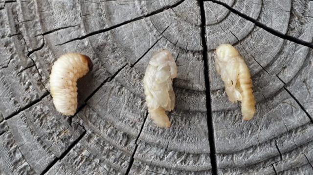 オリーブアナアキゾウムシのサナギ