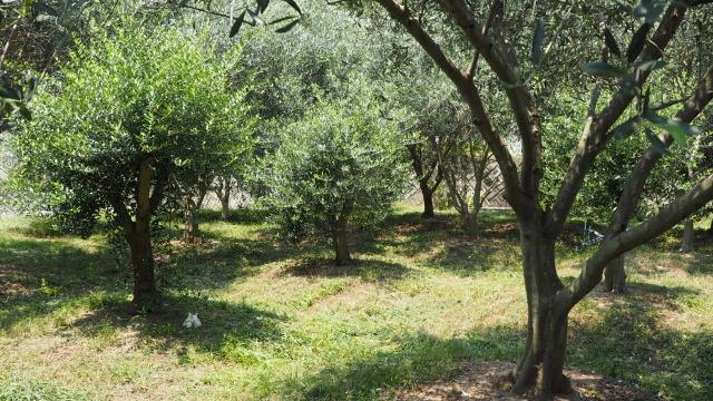 オリーブ畑・真夏の草刈り