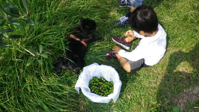 2011年山田オリーブ園の収穫風景
