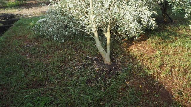 台風によるオリーブの倒木