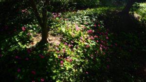 秋の花 カタバミが咲き始める