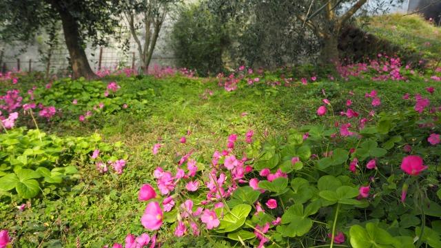 オリーブ畑のハナカタバミ