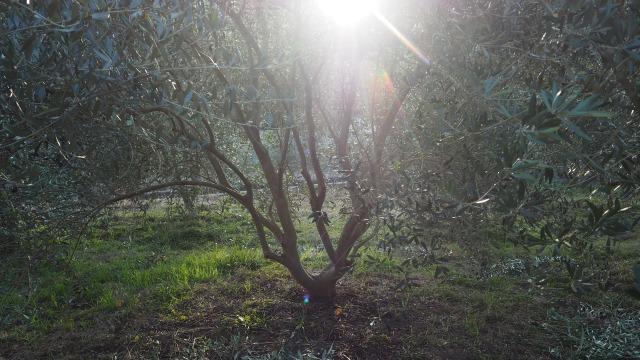 冬のオリーブ畑の夕暮れ