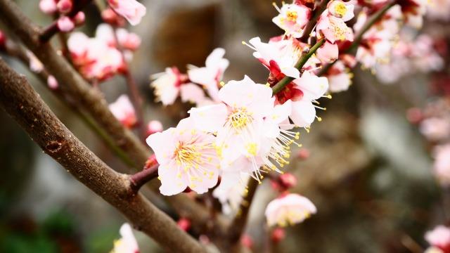 2020梅の開花/小豆島