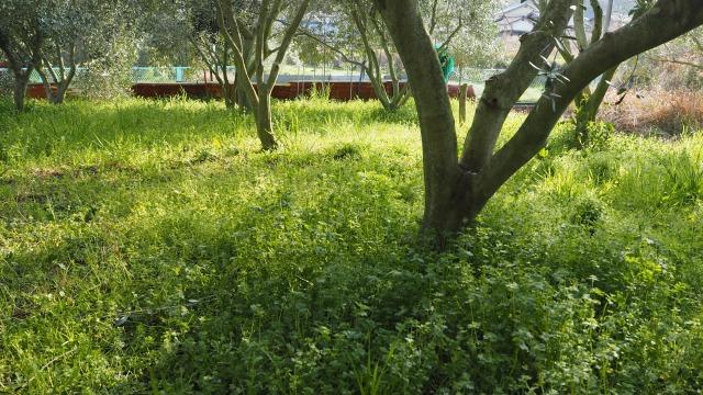 春分のオリーブ畑