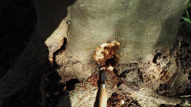 オリーブアナアキゾウムシの幼虫