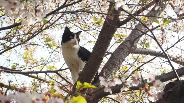 桜の木と猫