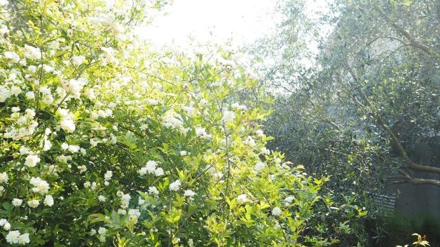 オリーブ畑のモッコウバラ