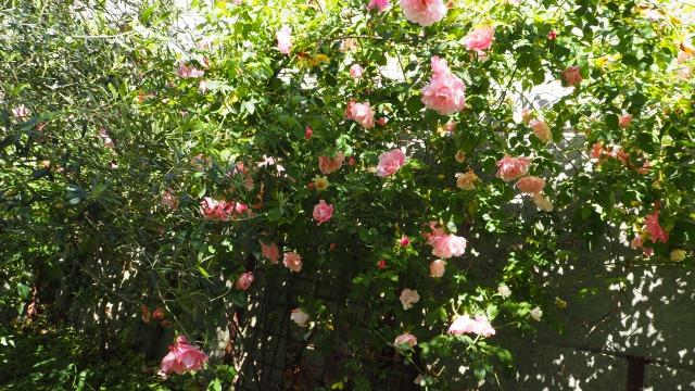 オリーブ畑で育てた小豆島産有機バラ