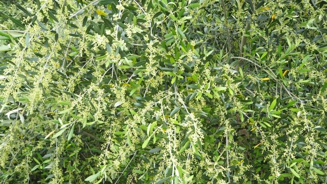 2020年オリーブの花芽最高の多さ