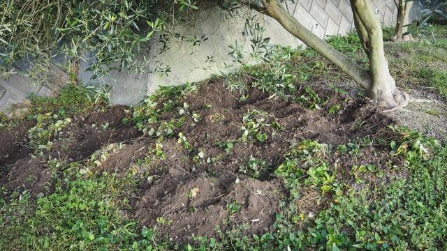 イノシシに荒らされたオリーブ畑