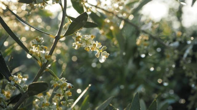 雨上がりのオリーブの花