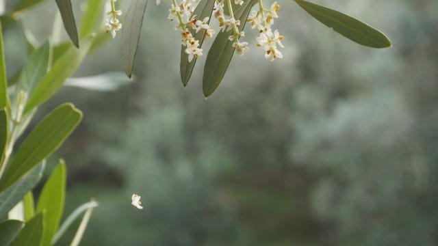 散るオリーブの花