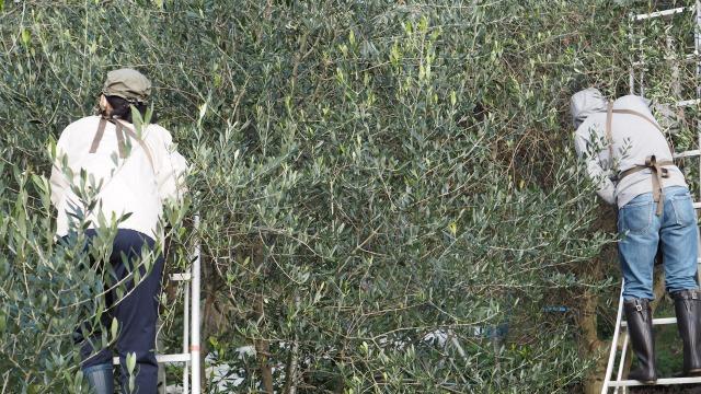 2020年秋・小豆島・オリーブの収穫・山田オリーブ園