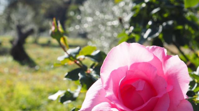 オリーブ畑に咲く冬バラ