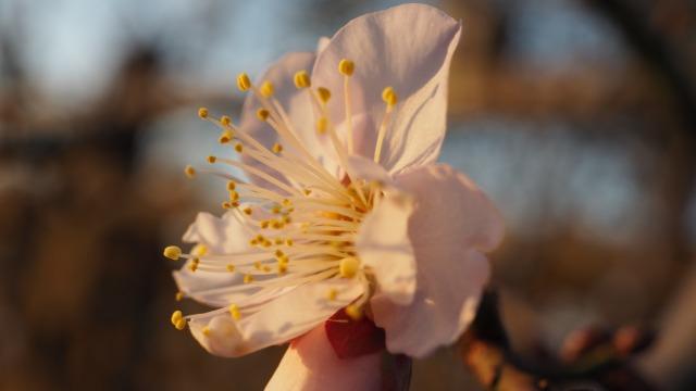 2020年梅の開花