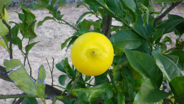 2012年12月レモンの実